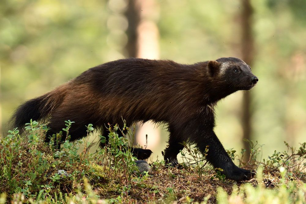 wolverine strolling through forested area