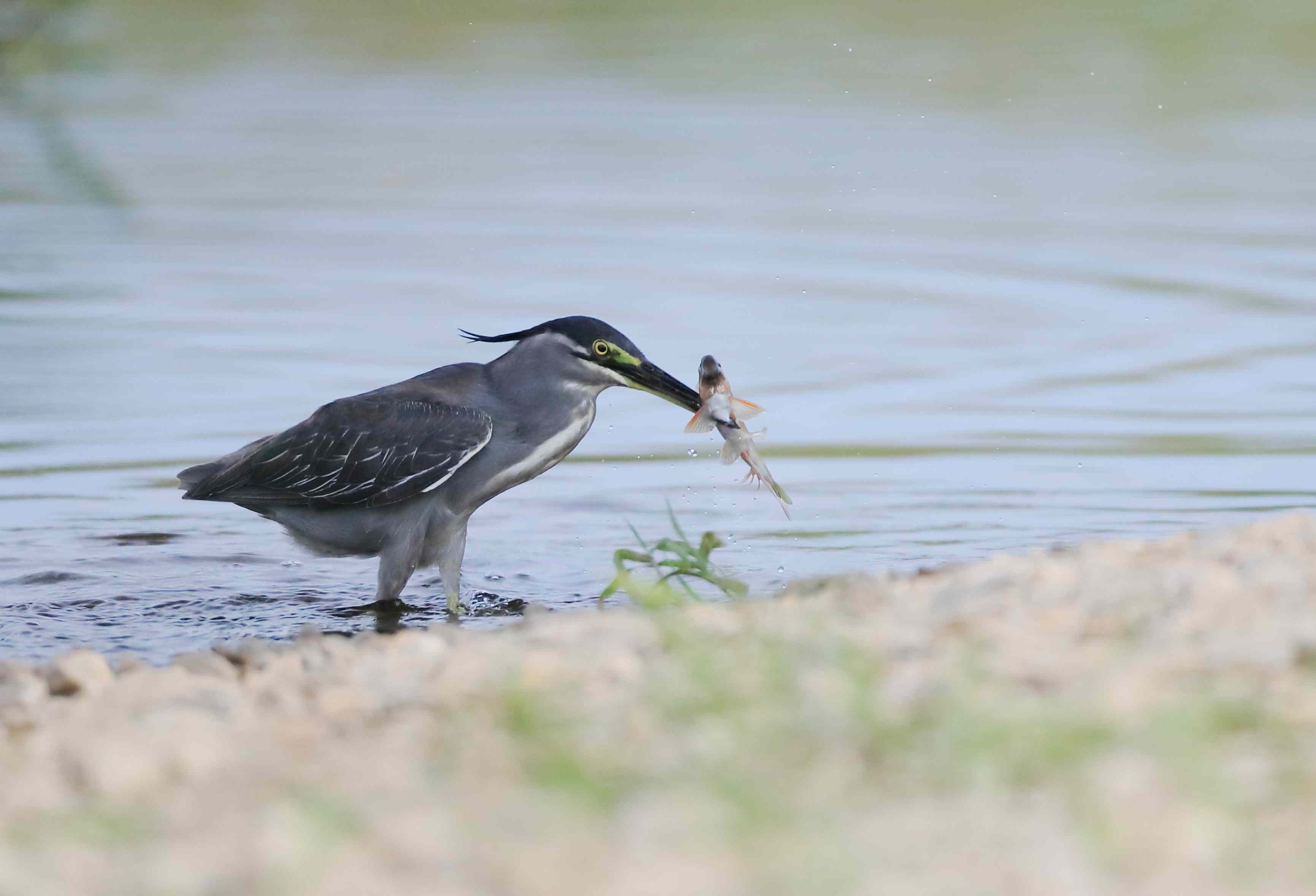 Striated heron emerging from the water with a fish