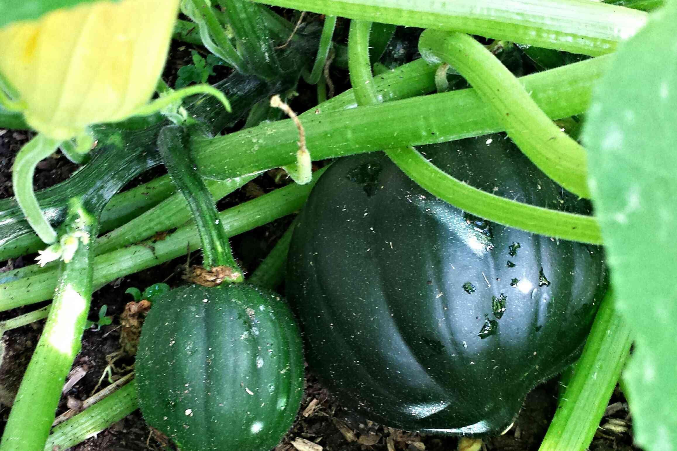Dark green squash growing on the ground