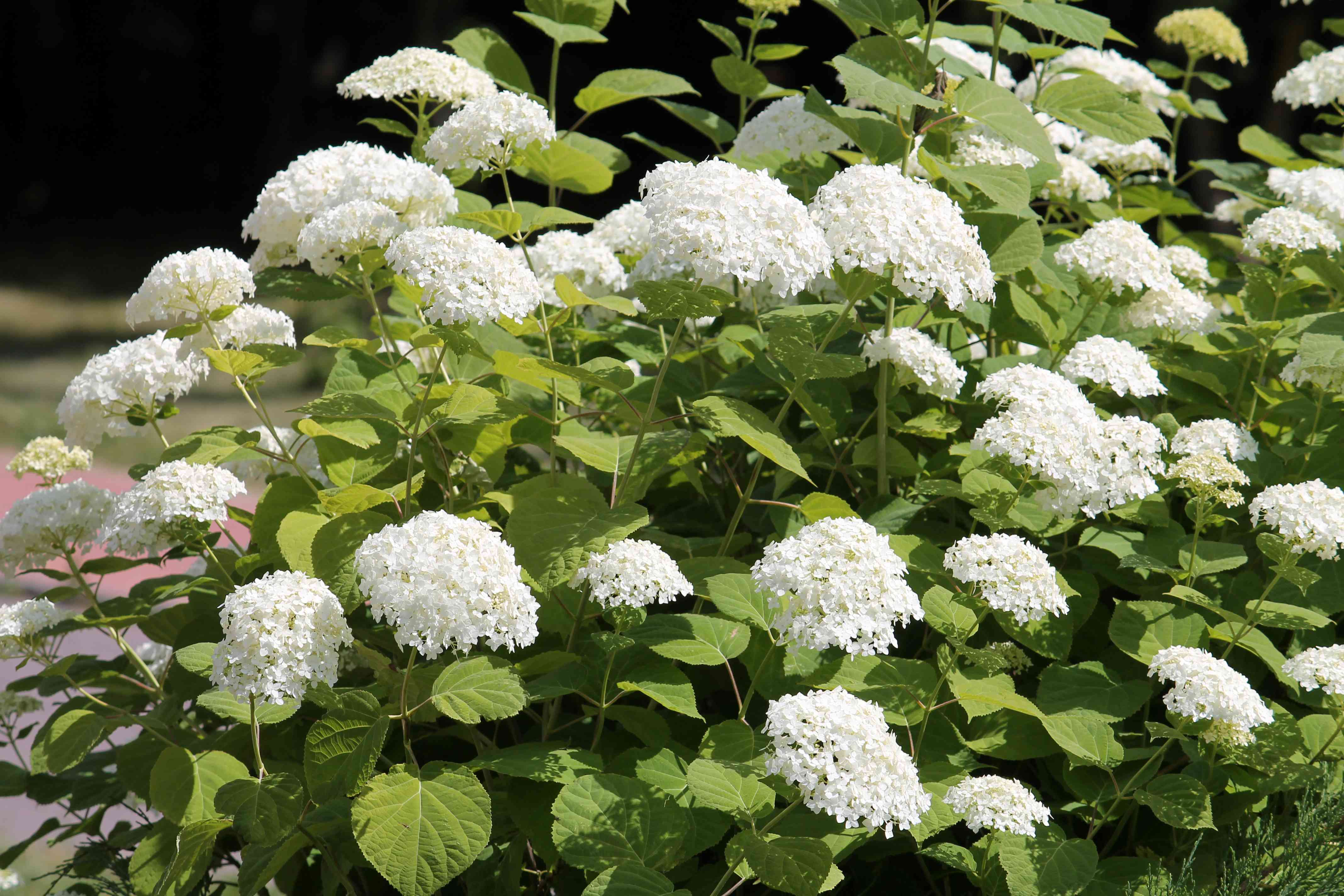 Smooth hydrangea plant with clusters of white flowers and large green leaves