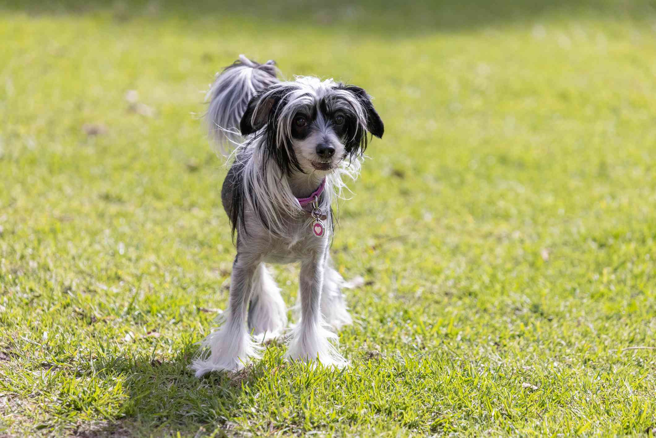 Black and white Chinese crested standing on green grass