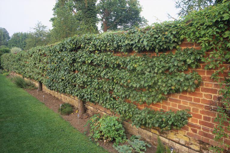Espaliered Pear Tree on Brick Wall