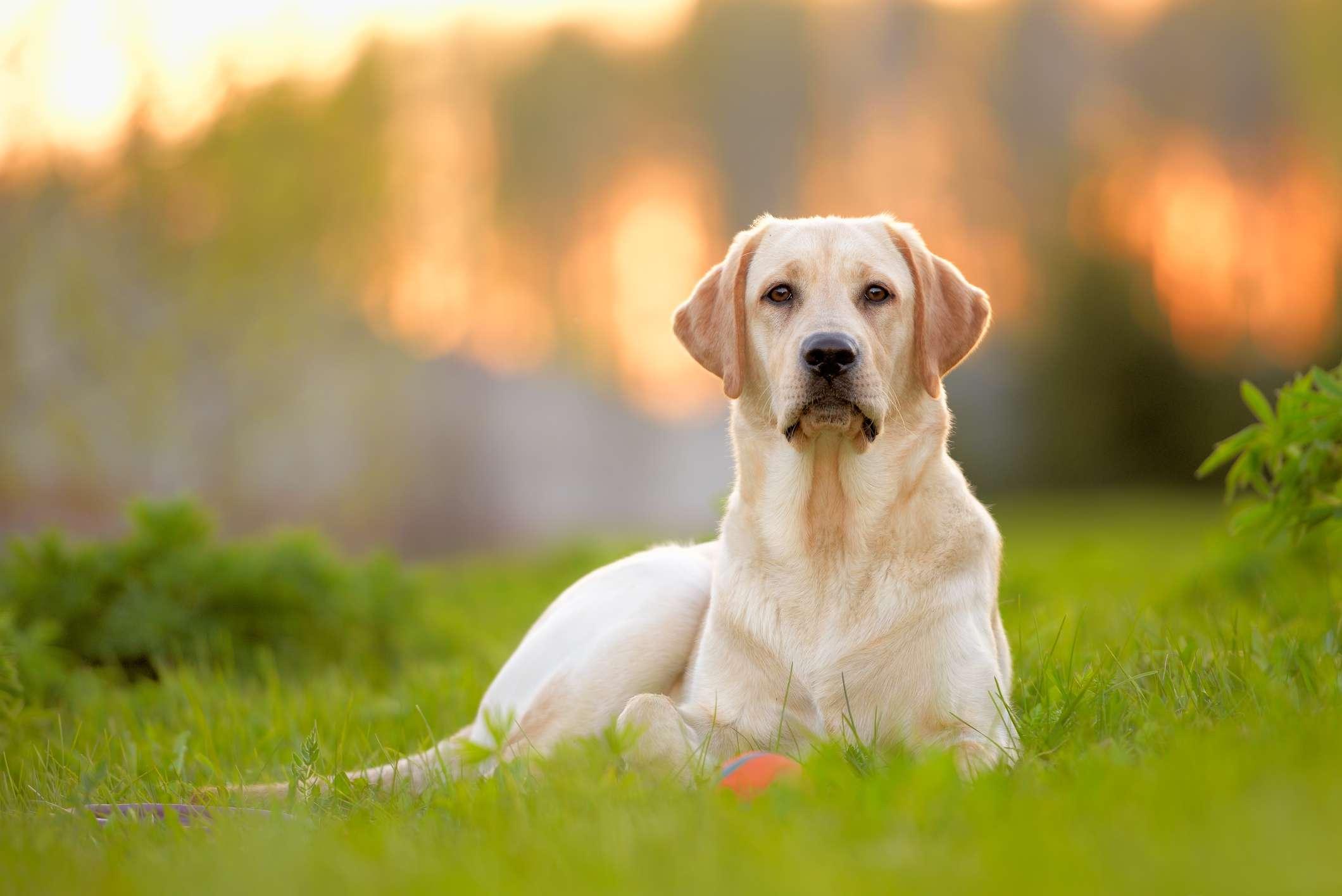 yellow Labrador retriever sitting in green grass