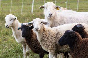 goats and sheep stare at camera