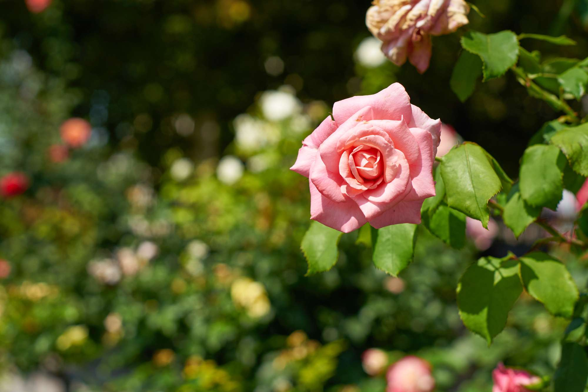tight focus shot of pink rose in bloom with rose bushes in background