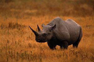 A black rhino in an open dry grass field.