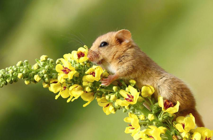 Sometimes even a dormouse has to stop and smell the flowers.