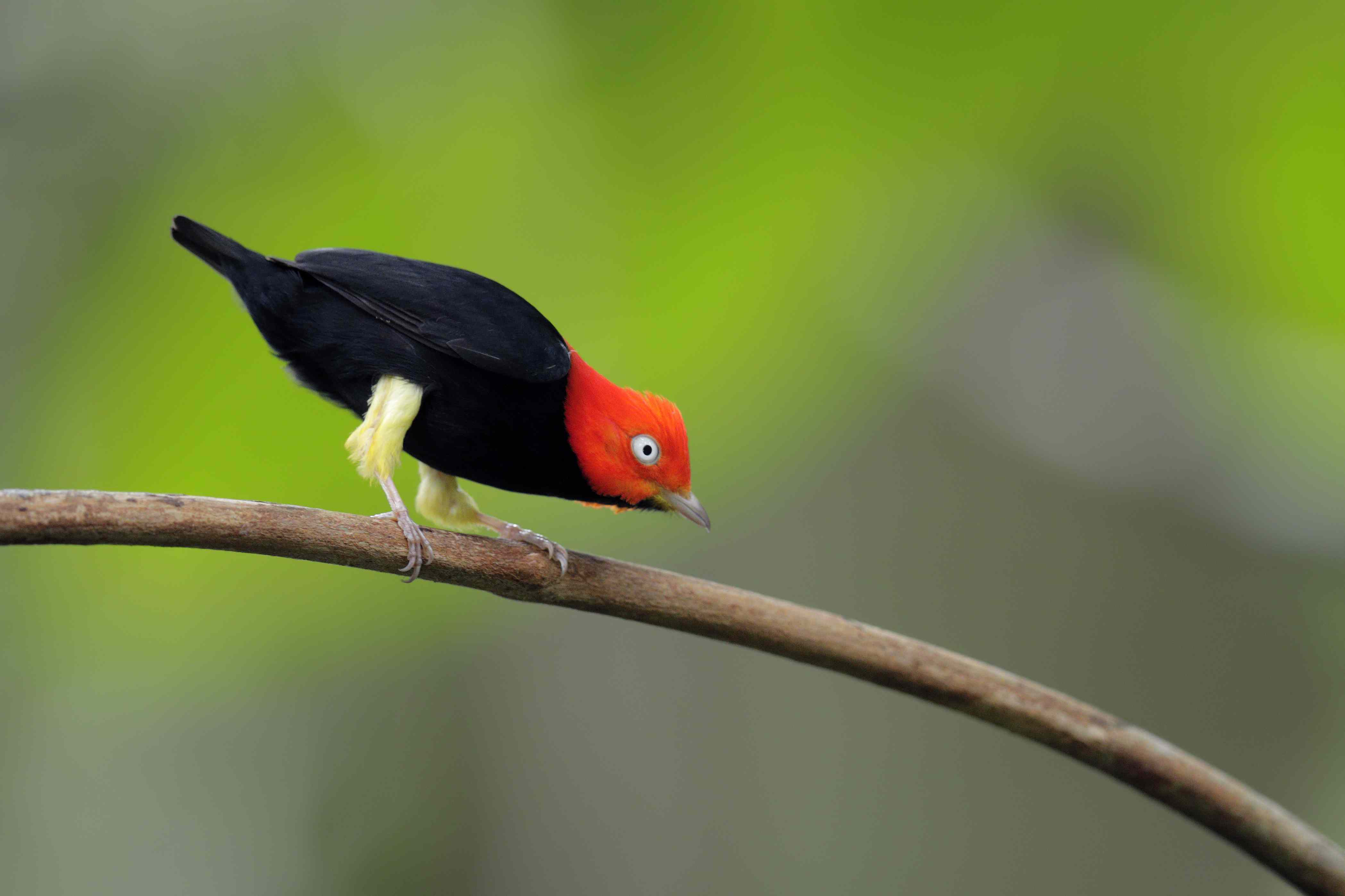 Red-capped Manakin (Ceratopipra mentalis) a black bird with red head and yellow legs