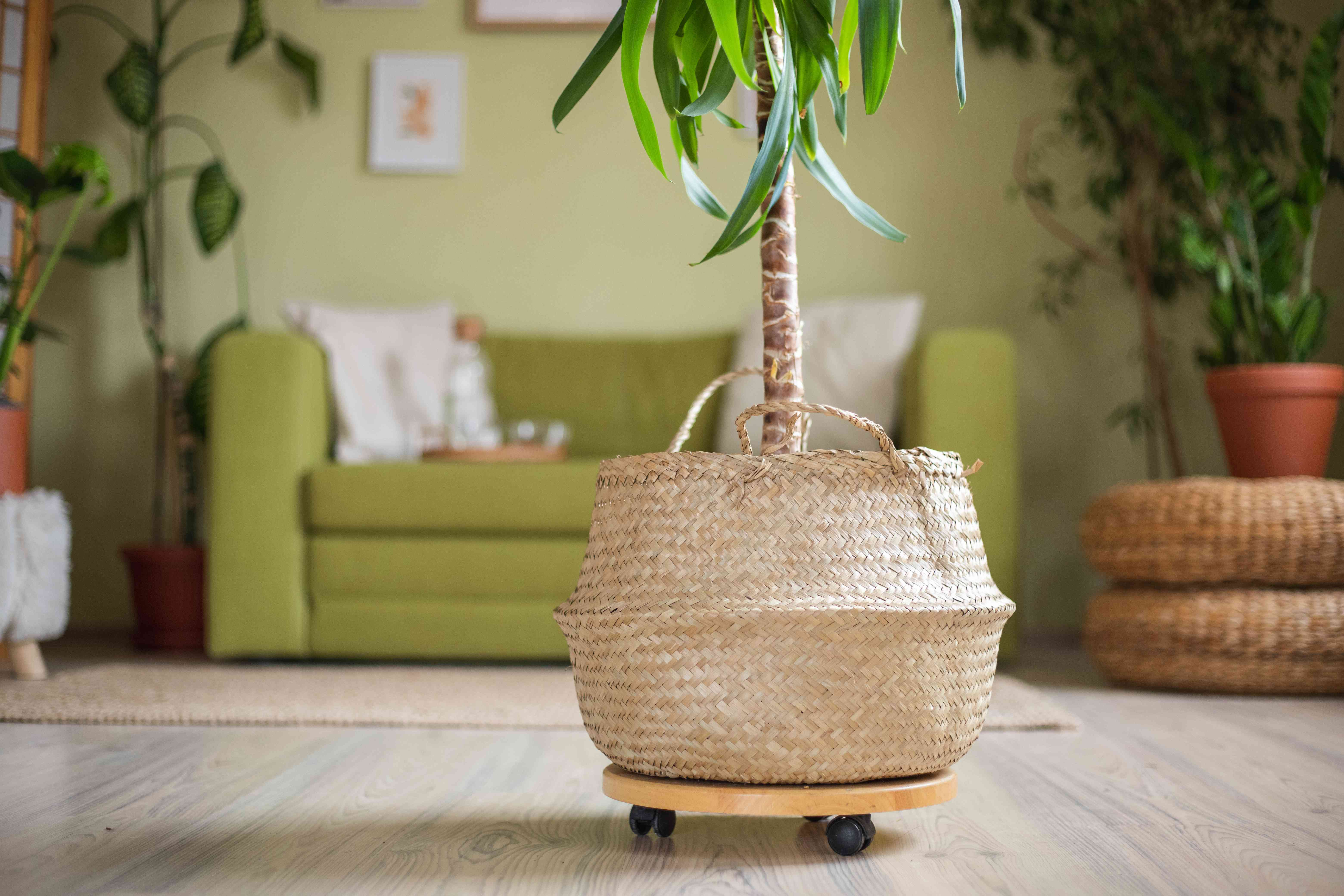 large house plant in wicker basket sits on wooden tray with wheels for moving around