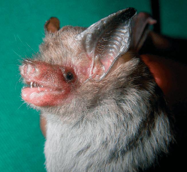 A close up view of a hog-nosed bat