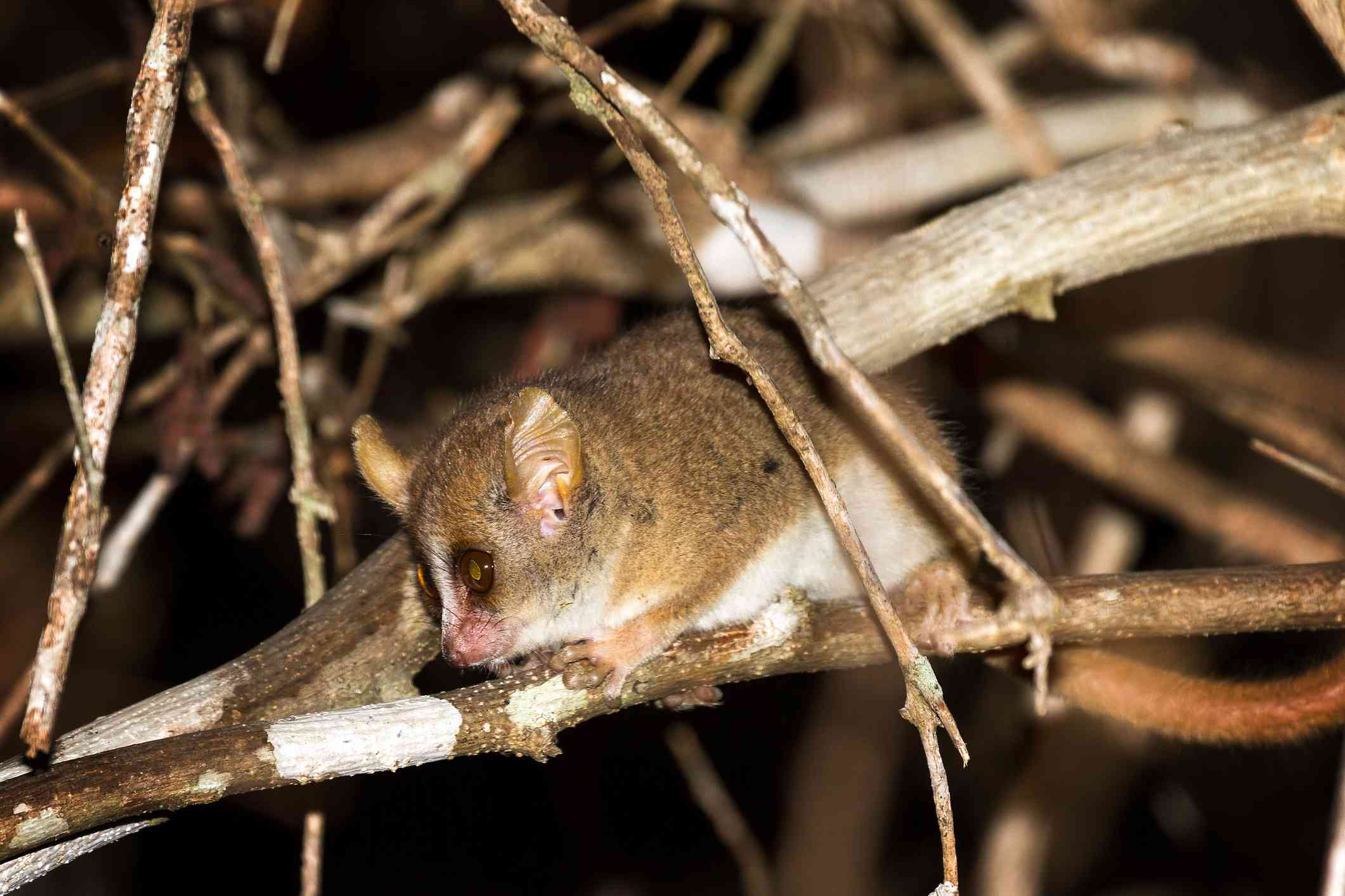 A brown and white Madame Berthe's mouse lemur on brown tree branches