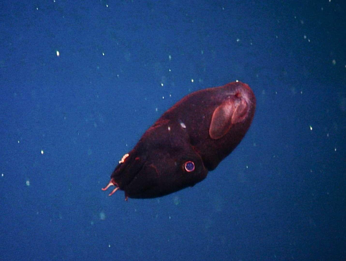 A juvenile vampire squid deep underwater.