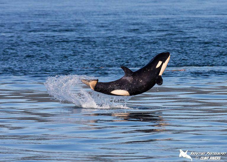 Baby Orca aprende a romper y no puede dejar de saltar de alegría