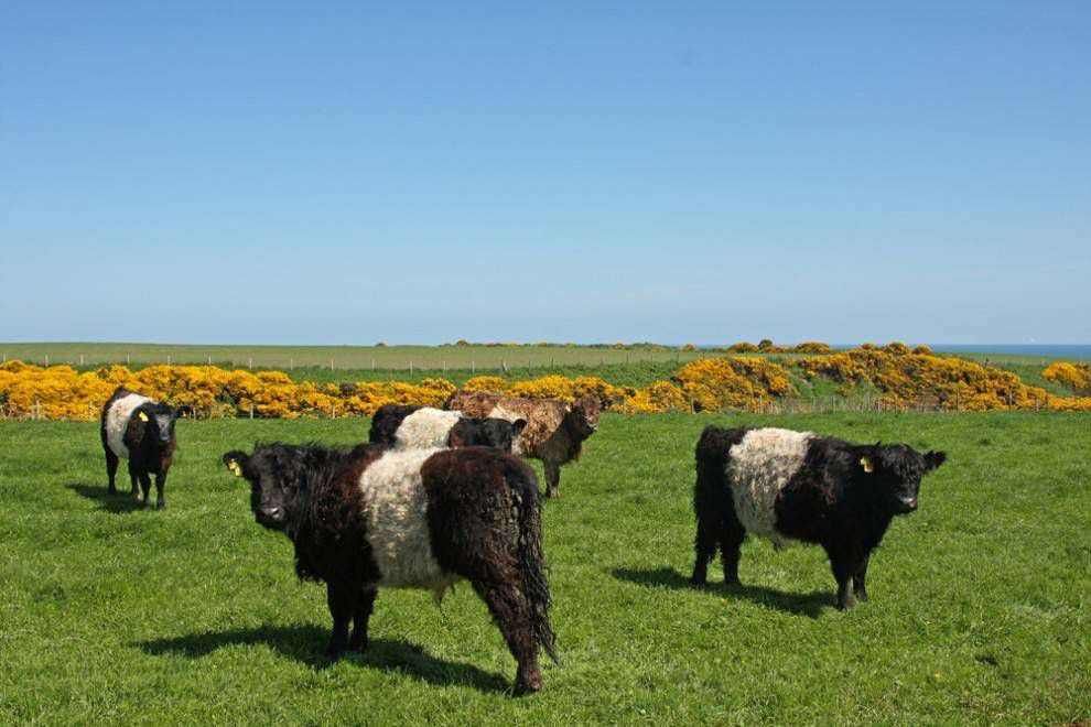 belted galloway cows grazing in grass