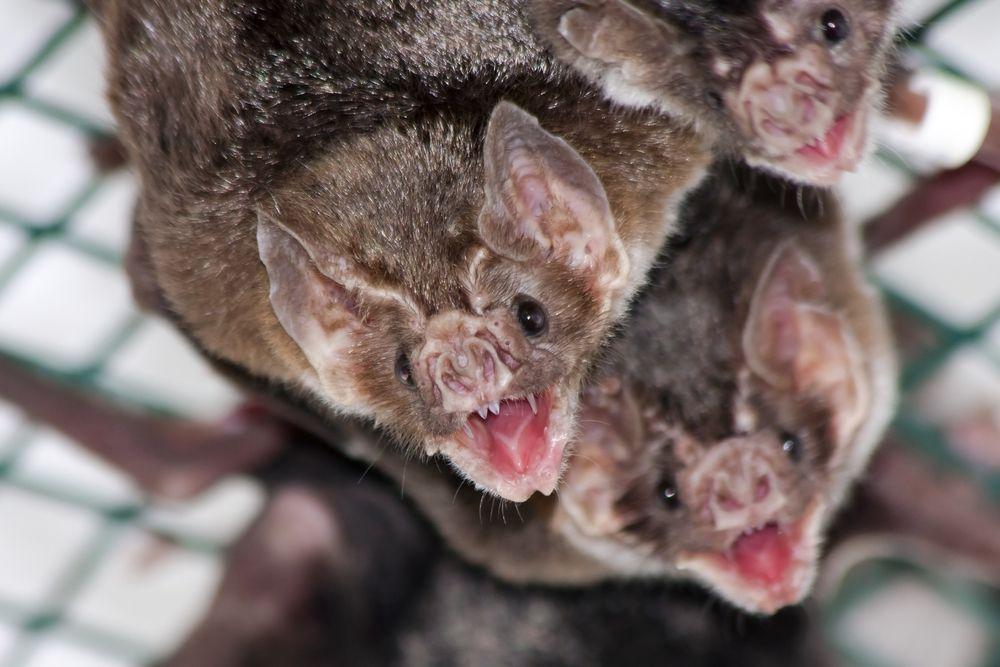 Vampire bats hiss at the camera.