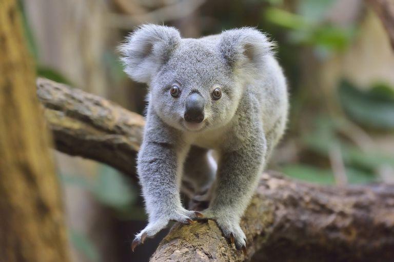 koala on tree branch