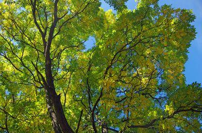 Honeylocust tree canopy