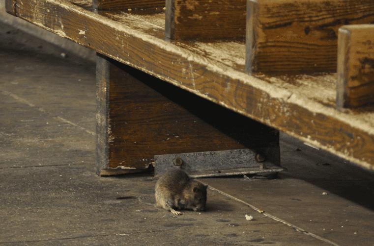 Rat on NYC subway platform