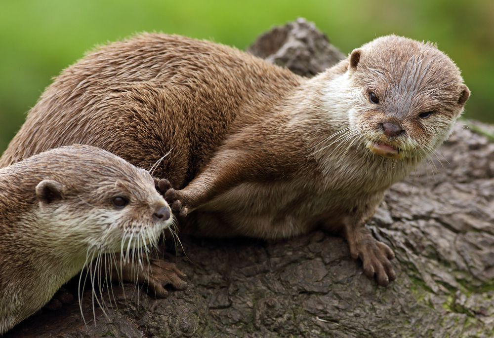 Otters with no claws facing each other on a rock