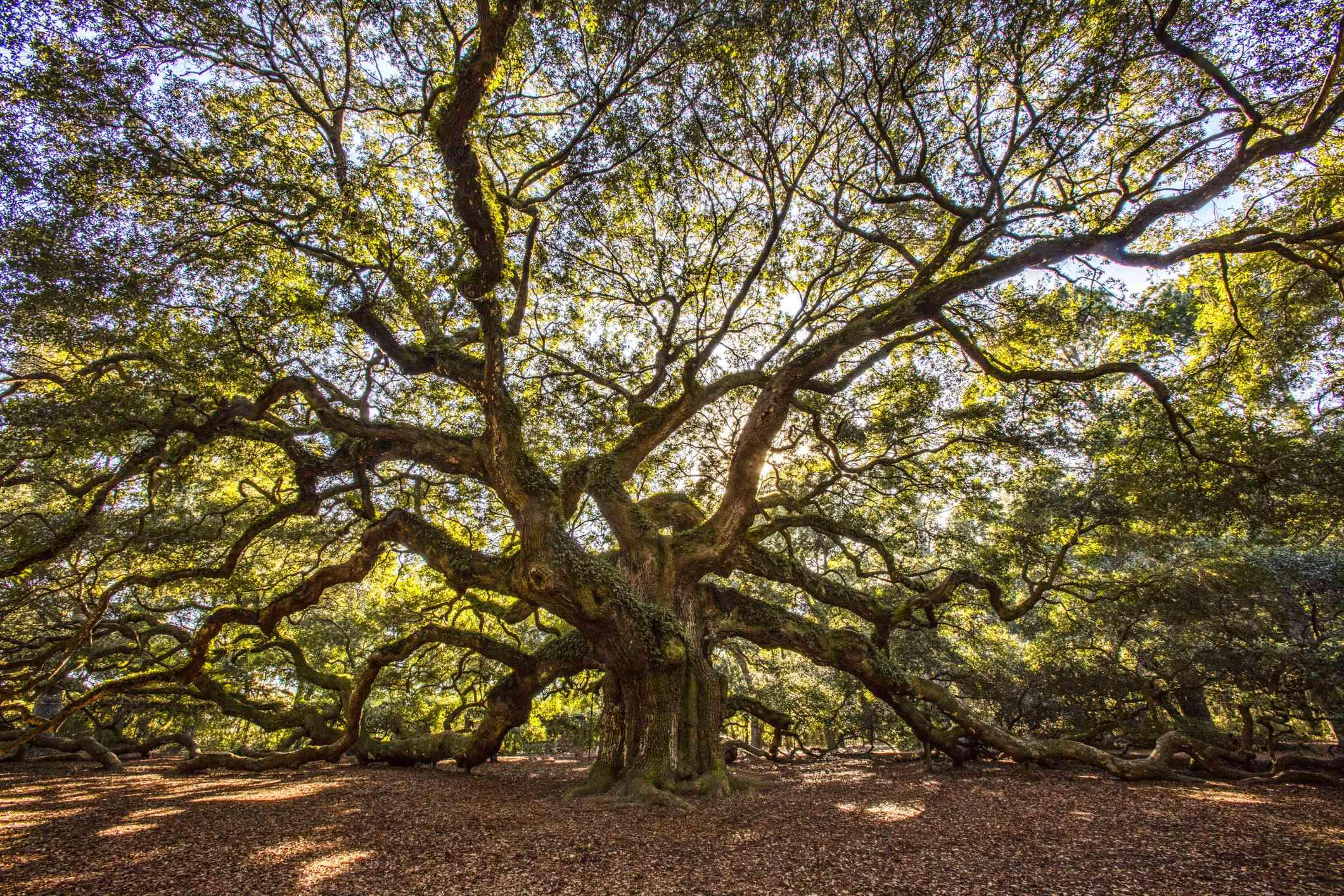 Large Angel Oak backed by sunlight on Johns Island near Charleston, South Carolina