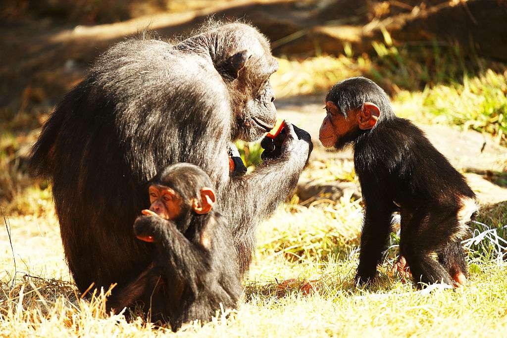 Chimpanzees eating on yellowed grass.