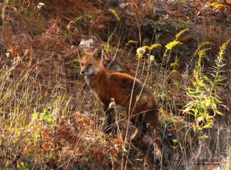 A red fox in the Algonquin Highlands, Ontario.