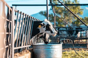Cows in a pen drinking water