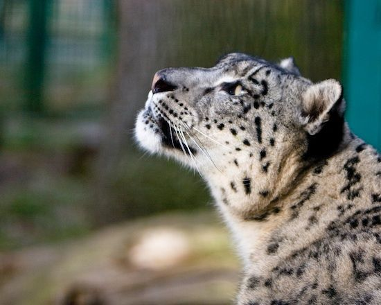 snow leopard opener photo