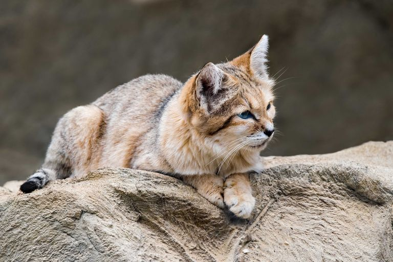 tan sand cat with gray markings lies down atop large rock