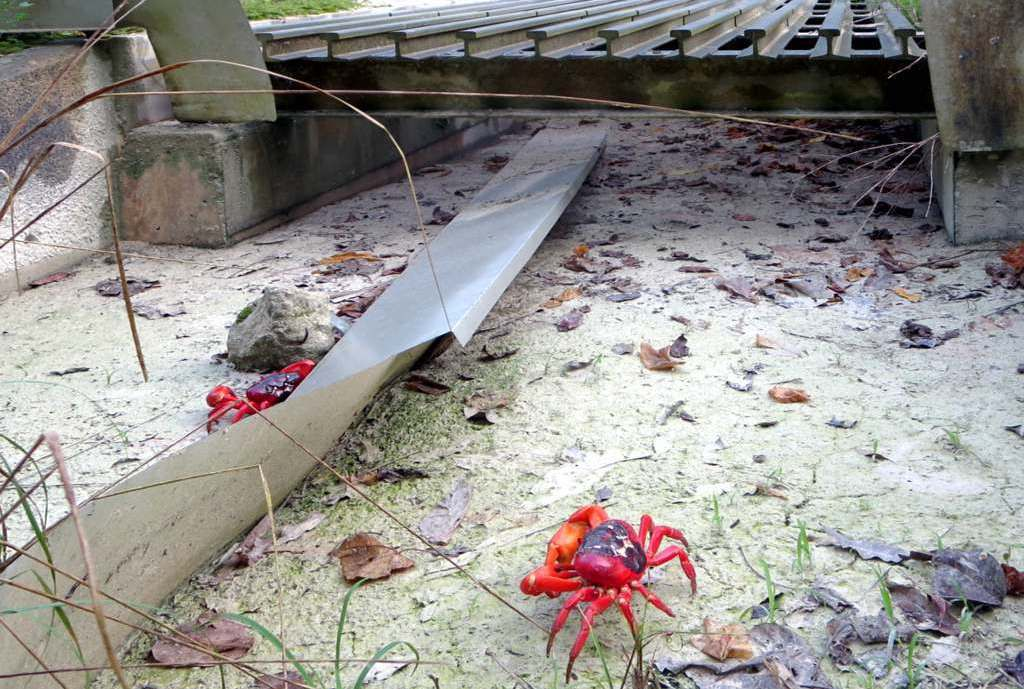 Crabs in front of tunnel on Christmas Island