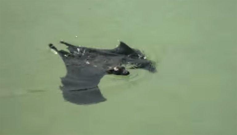¿Los murciélagos pueden nadar? ¡Oh, sí que pueden!