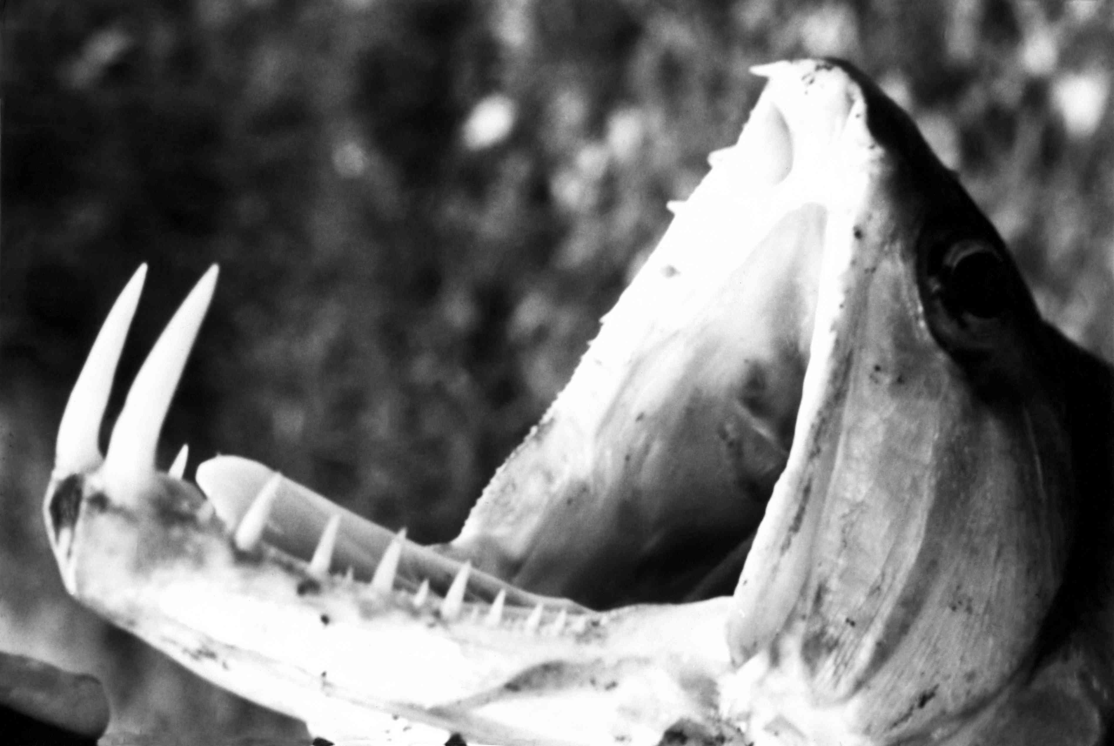black and white vampire fish with mouth wide open and two long teeth displayed