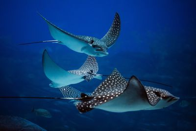 A group of stingrays in the ocean