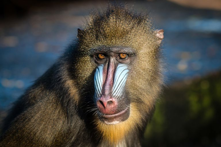 mandrill, a monkey with bright blue markings and a brown mask like area around eyes