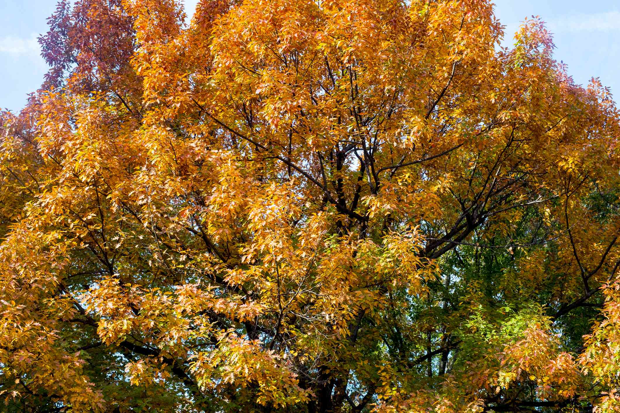 Northern red oak in fall orange and red colors