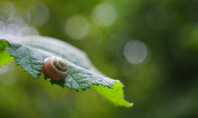 Snail curled into its shell on a leaf