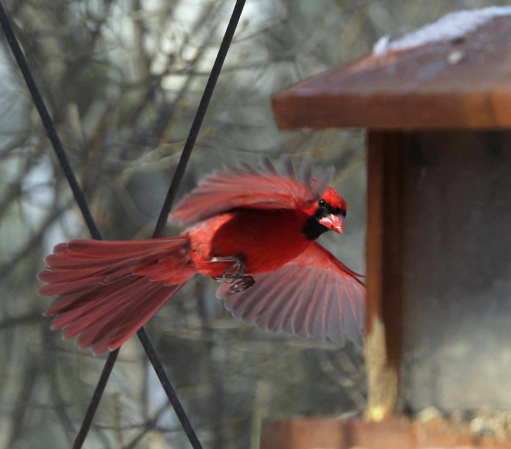 cardinal flying to feeder