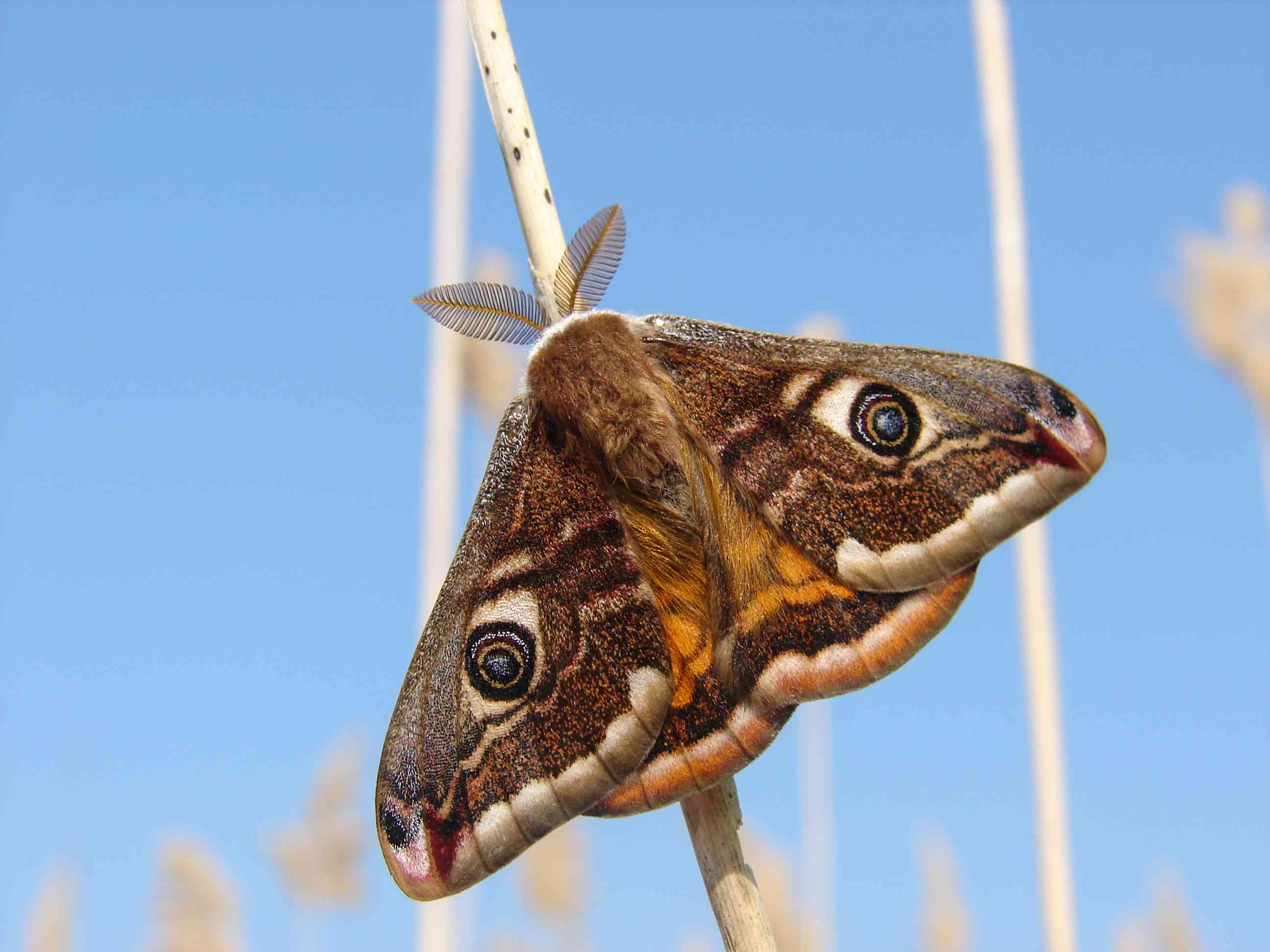 A brown moth with blue eyespots clings to a twig in front of a blue sky