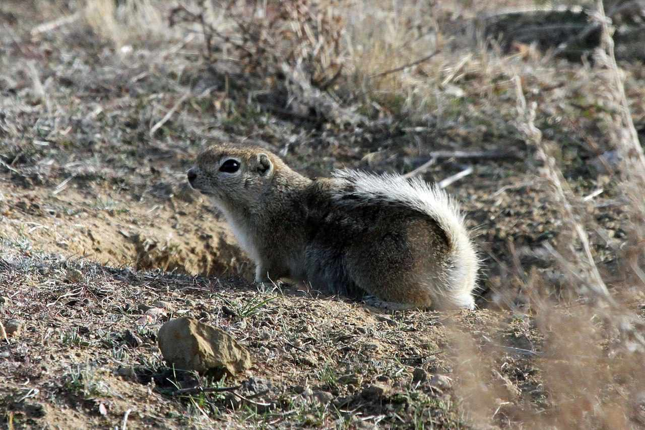 A Nelson's antelope squirrel with a white bushy tail sits in the desert grassland of the San Joaquin Valley.