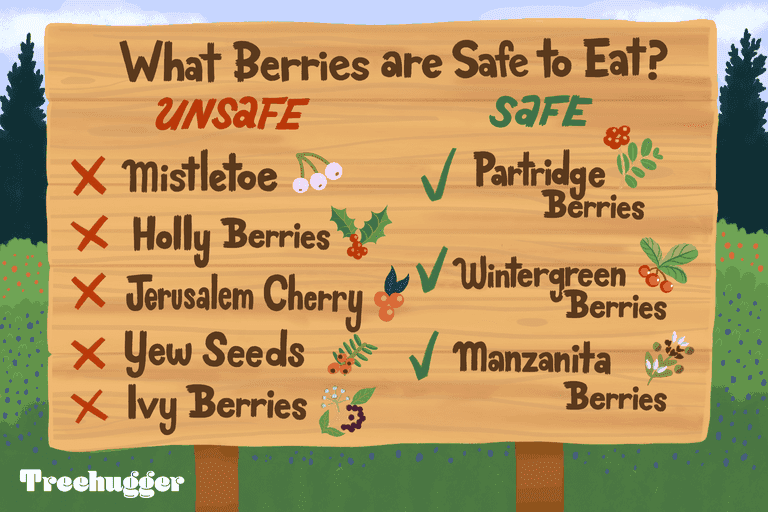 Illustrated sign showing unsafe berries and safe berries to eat