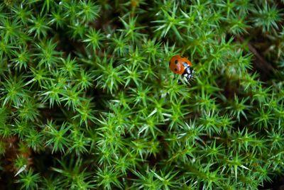 star moss with ladybug