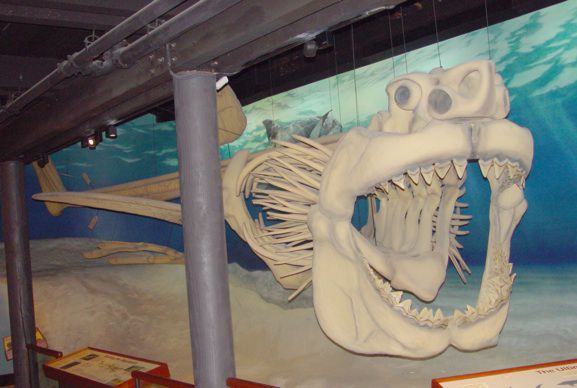 A Megalodon skeleton on display at the Calvert Marine Museum in Solomons, Maryland.