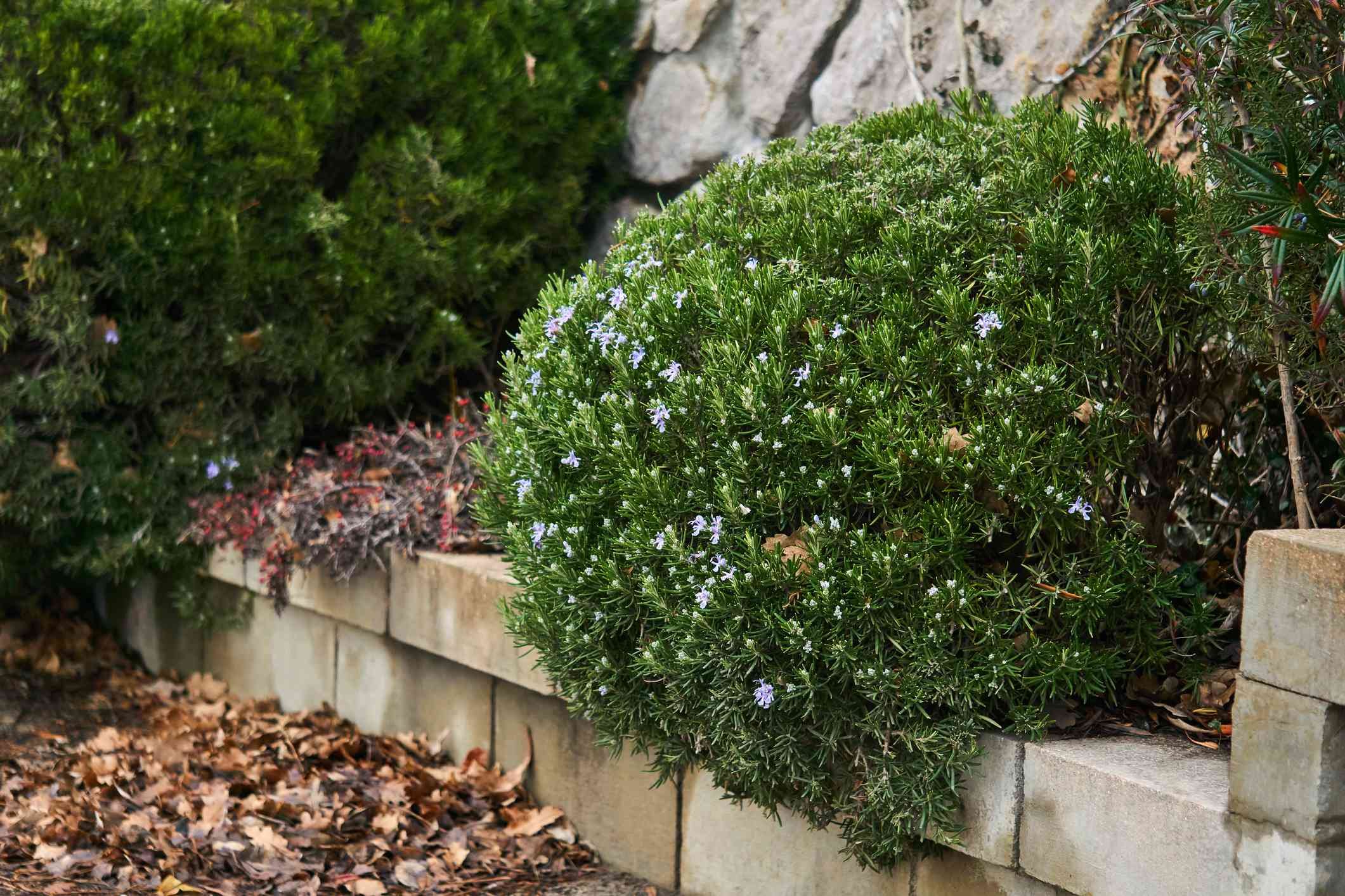 trimmed rosemary bush blooms in winter over fallen leaves