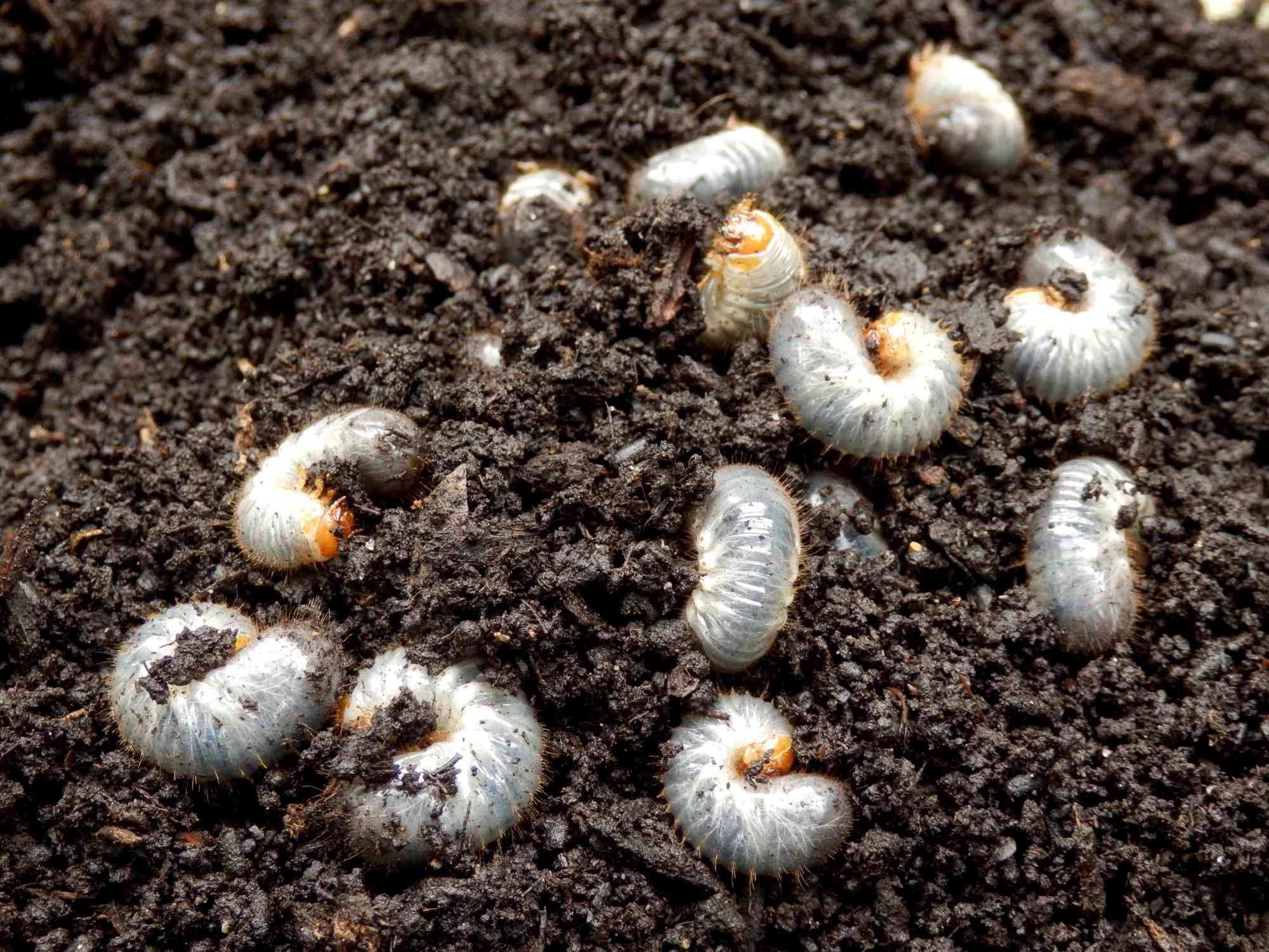 Several grubs of a chafer beetle in the dirt
