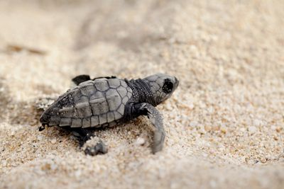 A baby Olive Ridley sea turtle crawling on the beach.