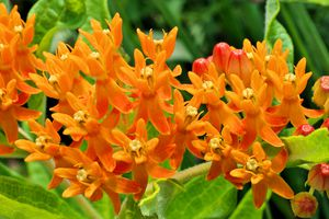 Close up Vivid Orange Butterfly Weed Flowers Asclepias Tuberosa