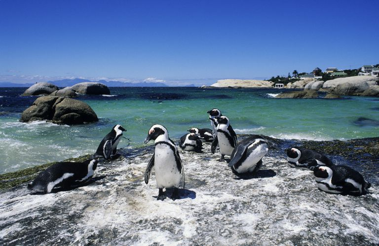 African penguins on a rock at Boulders Beach, Simon's Town, South Africa