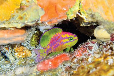Tosanoides aphrodite, a vibrant small spring green fish with purple and pink markings