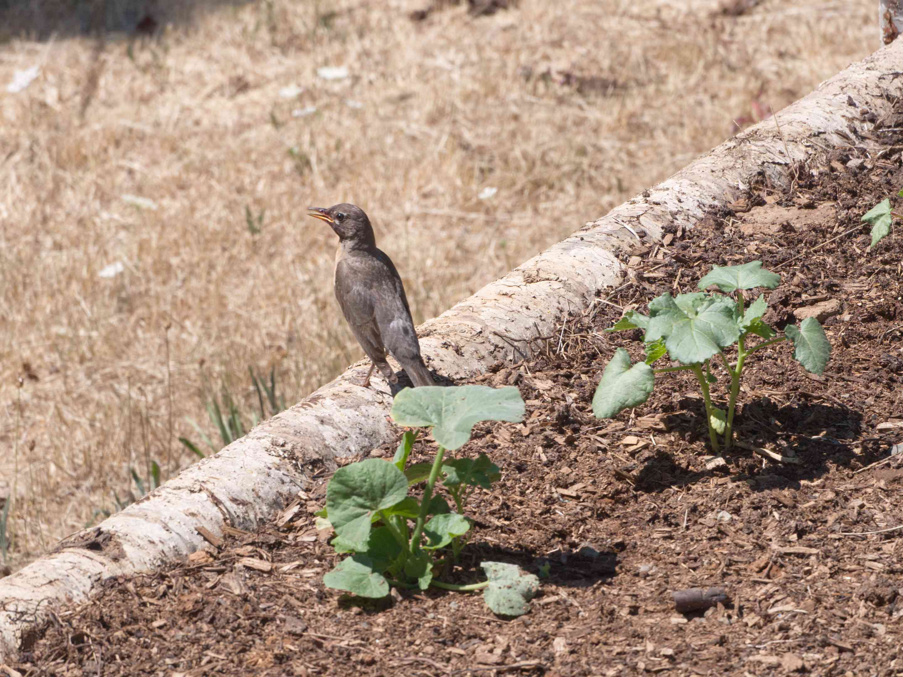 female robin perches on edge of log lining a garden with green plants