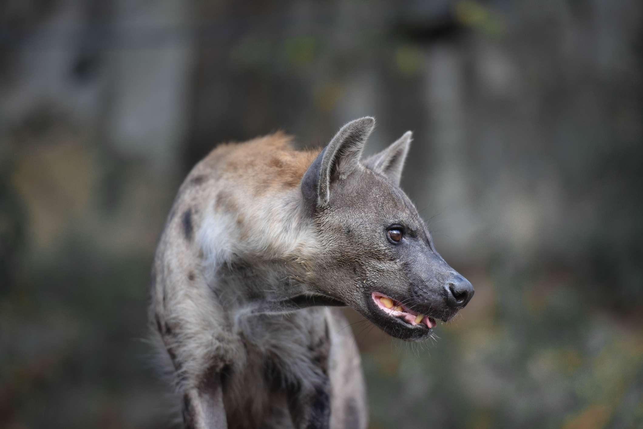 Hyena standing in grassland